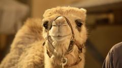 Camels 21149