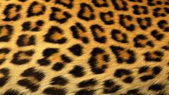 Cheetah Wallpaper 10417