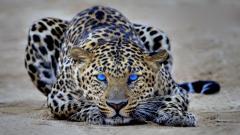 Cheetah Wallpaper 10418