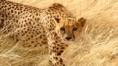 Cheetah Wallpaper 10423