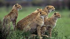 Cheetah Wallpaper 10424