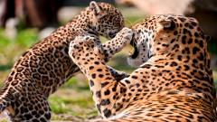 Cheetah Wallpaper 10425