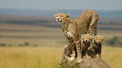 Cheetah Wallpaper 10428