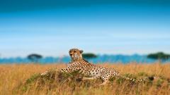 Cheetah Wallpaper 10430