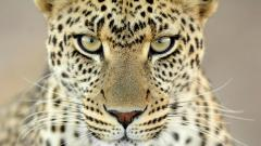Cheetah Wallpaper 10434