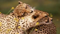 Cheetah Wallpaper 10435