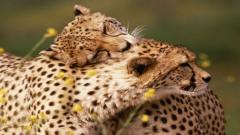Cheetah Wallpaper 10435