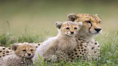 Cheetah Wallpaper 10436