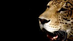 Cheetah Wallpaper 10438