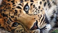 Cheetah Wallpaper 10439