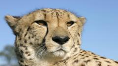 Cheetah Wallpaper 10440