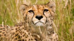 Cheetah Wallpaper 10442