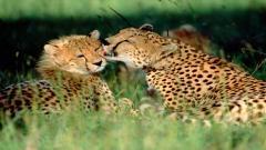 Cheetah Wallpaper 10443