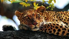 Cheetah Wallpaper 10444