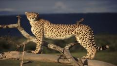 Cheetah Wallpaper 10446