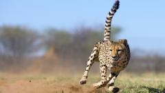 Cheetah Wallpaper 10448