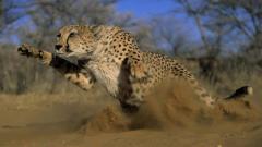 Cheetah Wallpaper 10449