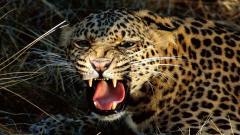 Cheetah Wallpaper 10450