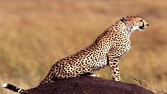 Cheetah Wallpaper 10451