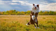 Cute Australian Shepherd Wallpaper 36403