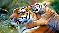 Cute Baby Tiger 30499