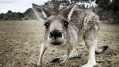 Cute Kangaroo 23910