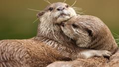 Cute Otter Wallpaper 44524