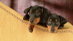 Cute Puppies Wallpaper 41773