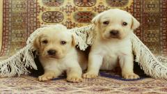Cute Puppies Wallpaper 41774