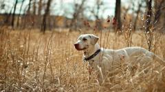 Dog Field Wallpaper 44806
