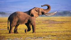Elephant Wallpaper Background 10454