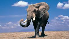 Elephant Wallpaper 10457