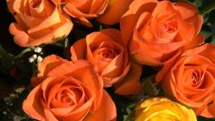 Free Orange Roses Wallpaper 29741