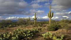 Free Saguaro Wallpaper 41784
