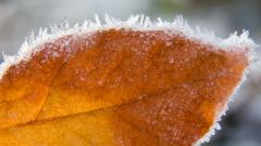 Frosted Leaf 29718