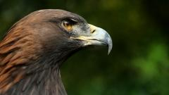 Golden Eagle Close Up Wallpaper 44519
