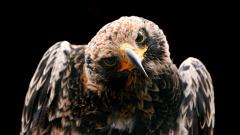 Golden Eagle Wallpaper 44518