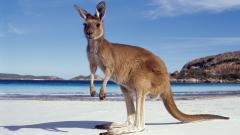 HD Kangaroo Wallpaper 23905
