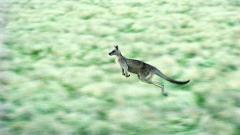 Kangaroo Background 23912