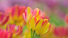 Lovely Tulips 44633