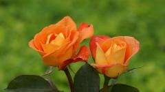 Orange Roses 29730