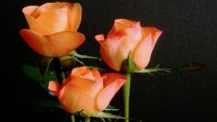 Orange Roses 29737
