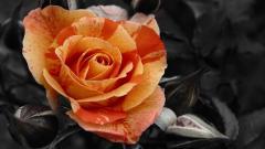 Orange Roses 29739