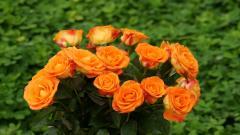 Orange Roses 29746