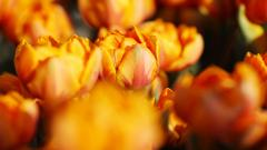 Orange Roses Background 29743