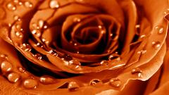 Orange Roses HD 29733