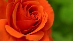 Orange Roses Picture 29736
