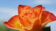 Orange Roses Picture 29740