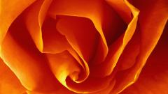 Orange Roses Wallpaper 29732