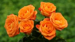 Orange Roses Wallpaper 29738